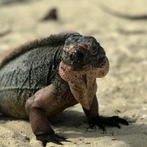Rock Iguanas - Staniel Cay Exuma Day Tours