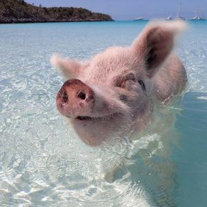 Swimming Pigs Of The Bahamas